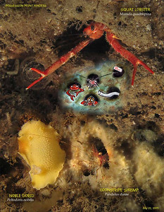 Critters such as Squat Lobster and Coonstripe Shrimp  find home in the clay holes of the Possession Point Fingers. July 22, 2009