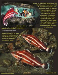 Juvenile Yelloweye Rockfish ( Sebastes ruberrimus) .  Possession Poit Fingers, September 26, 2009
