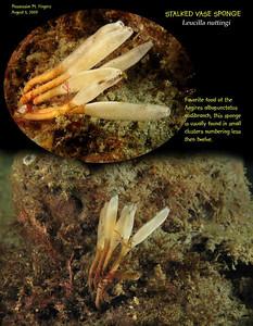 Stalked Vase Sponge, Leucilla nuttingi. Possession Point Fingers. August 5, 2009