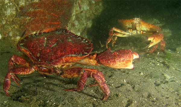 Red Rock Crabs (Cancer productus) -  DUEL.<br /> Possession Beach, June 21, 2009