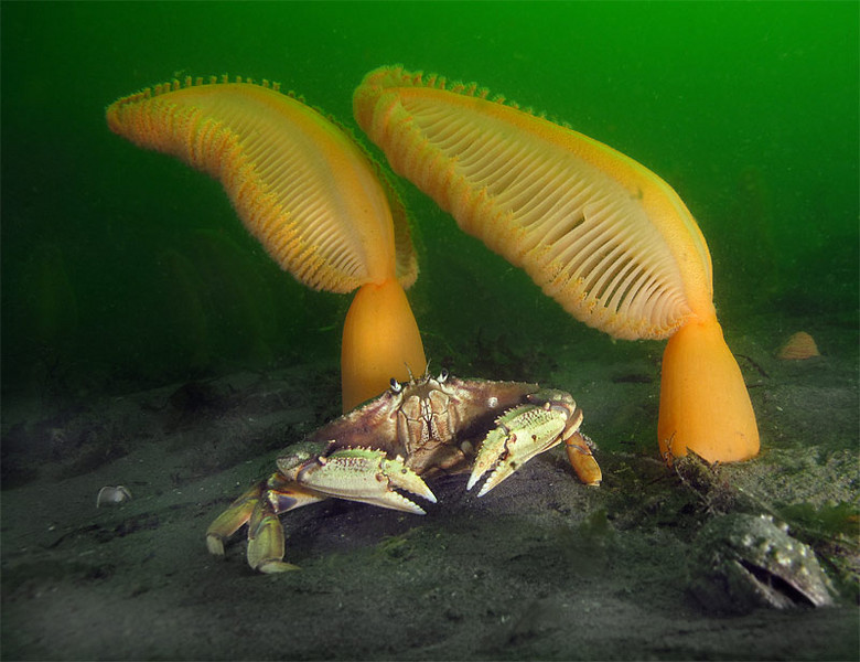 Dungeness crab (Cancer magister) with two Orange Sea Pens bending in current.<br /> Possession Beach, June 21, 2009