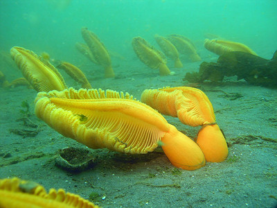 Orange Sea Pens ( Ptilosarcus gurneyi) bending in the current.  Possession Point Beach, July 7, 2009