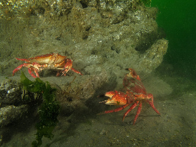 Another pair of dueling crabs. Red Rock Crabs. Possession Point Fingers. June 28, 2009