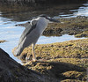 Cattle Egret - output from Nikon P900