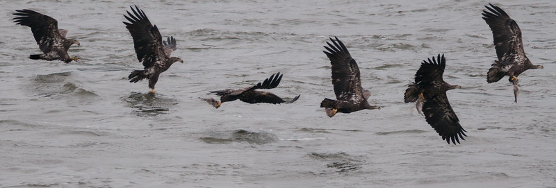 Composite sequence of a juvenile bald eagle catching a fish from a scouting trip up to Conowingo dam in Maryland.
