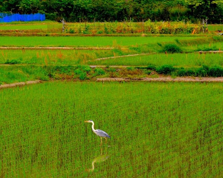 Great blue heron in rice paddy