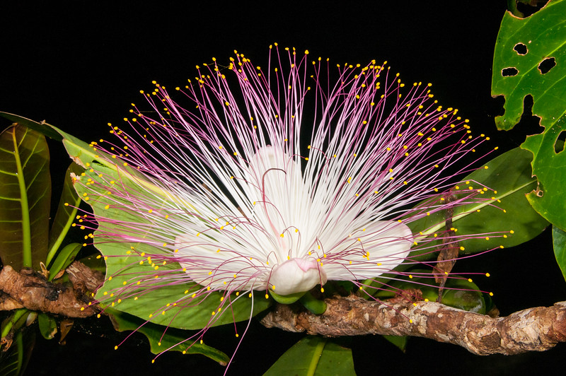 Flower of Sea Poison Tree