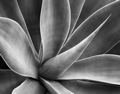 Agave Golden Gate National Park submitted by: Jan Bell from USA