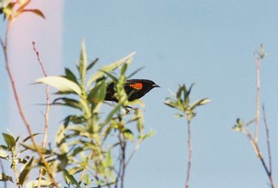 4/24/04 Red-Winged Blackbird. Prado Wetlands Tour with Orange County Water District staff biologist