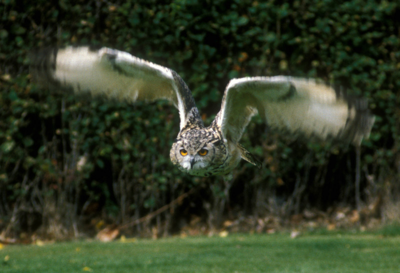 Owl in flight, Scotland.
