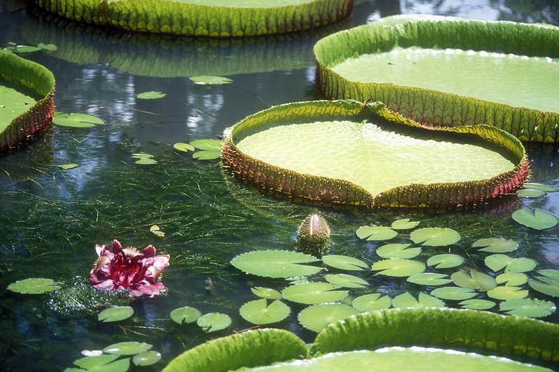 """Victoria Amazonica"" water lillies in the Sir Seewoosagur Ramgoolam Botanic Gardens, Mauritius."