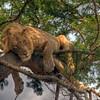 HDR: Tree climbing lion, Ishasha, Uganda.