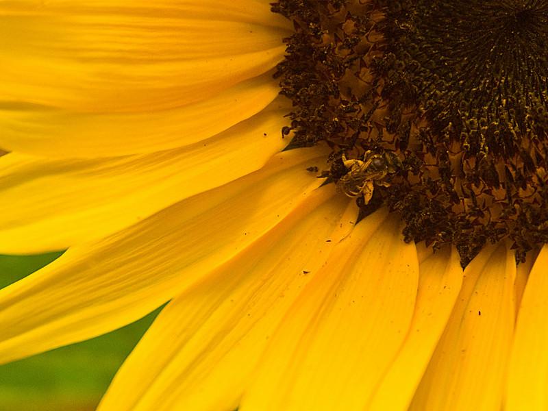ee on Sunflower, Georgia, USA