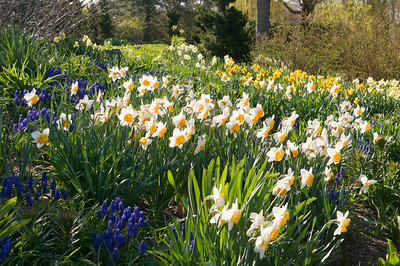 Grape hyacinth and daffodils in the Bulb Garden