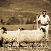 Sheep dog trials Achindaul Fort William