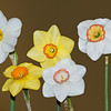 Midwest Daffodil Society Show – Saturday, April 27 & Sunday, April 28