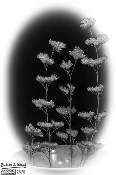 dried flower, macro photography, black and white, B&W,