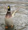 Mallard, duck,