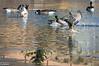 Mallard, duck, Canadian geese, geese,