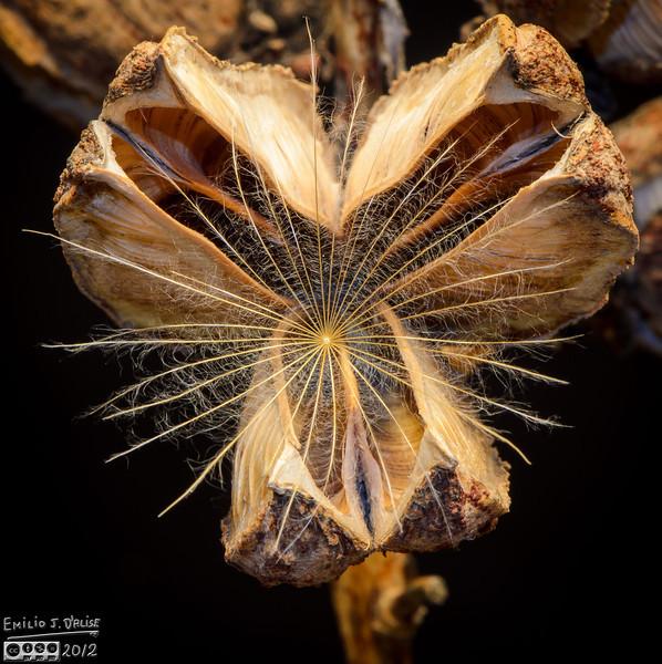 dried Yucca seed, yucca seed, macro photography,