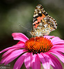 Butterfly on cone flower.