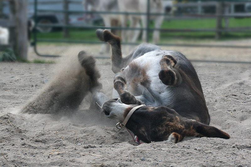 Rolling in the dirt.
