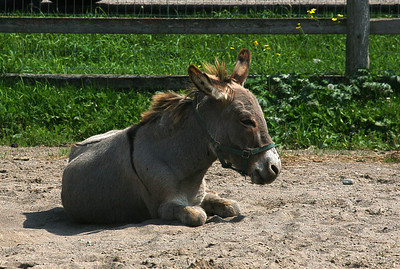 Donkey in the dirt.