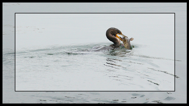 A cormorant's lunch.