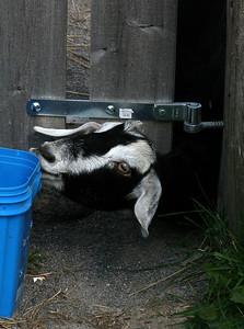 Mischievous goat.