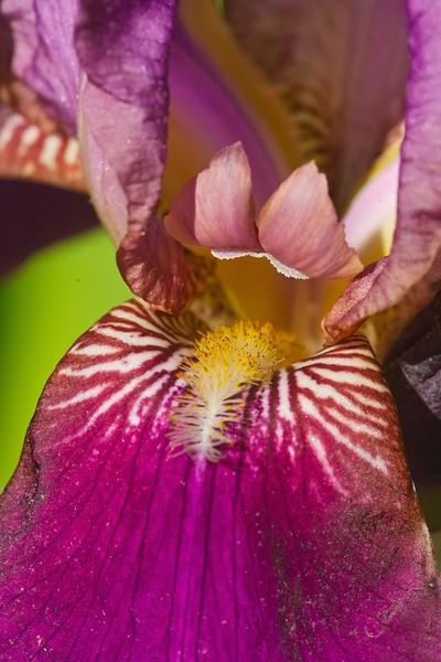 Iris close-2