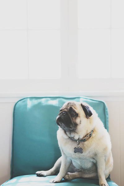 Gracie the Pug: Los Angeles, CA