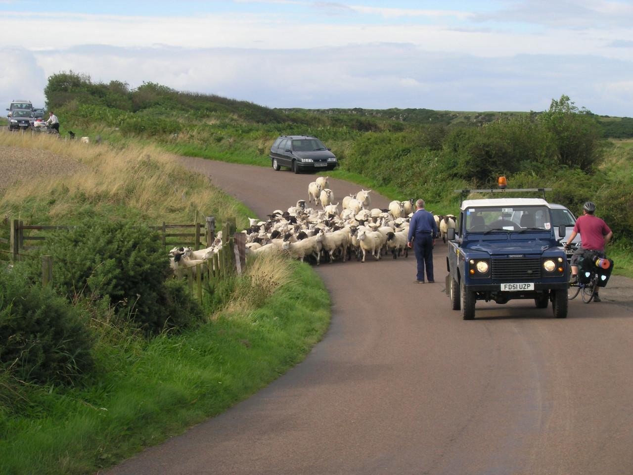 sheep hearding...