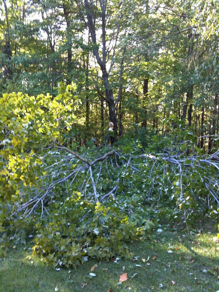 Maple limb down in the yard