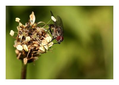Une mouche sur les restes d'un plantain