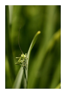 Petite sauterelle de viendra grande