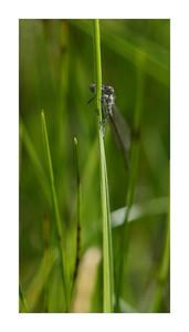 Enfin, ma première libellule, un agrion fort prompte à prendre l'air.
