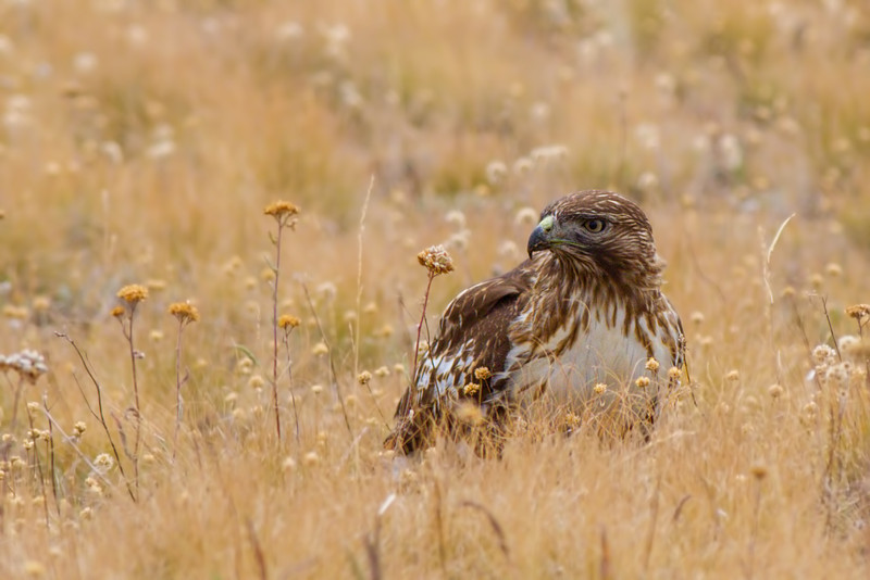 red-tailed hawk, light morph juvenile, Steens Mountain, OR, 9/2013