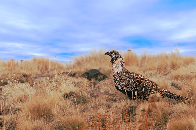 sage grouse, male, Kiger Gorge area, Steens Mtn., OR, 9/17/2013
