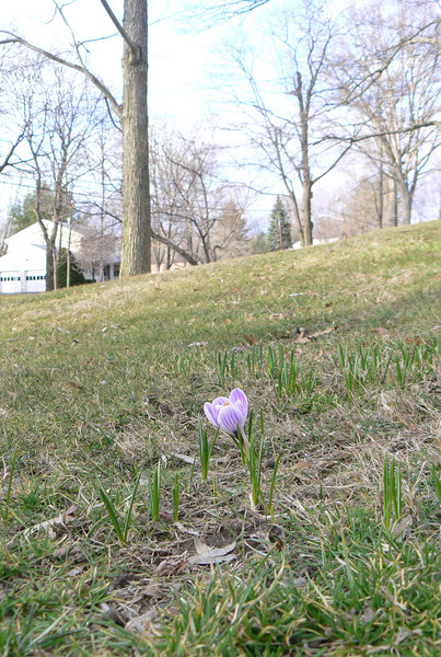 first crocus of spring but trees are still bare
