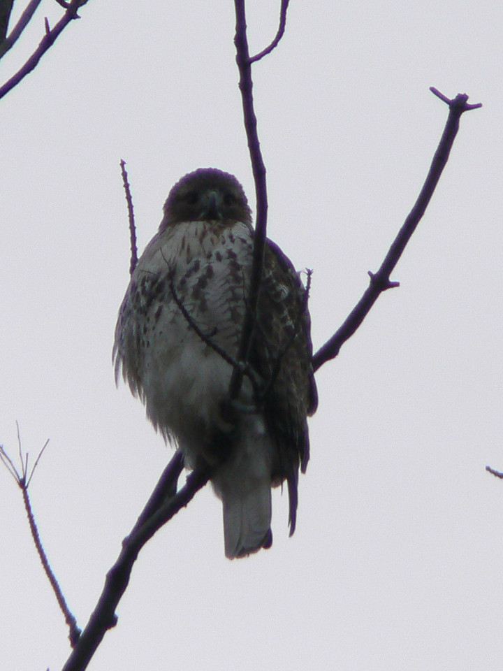 "Pattern metering, +1EV - red tailed hawk (""what are your looking at?!"")"