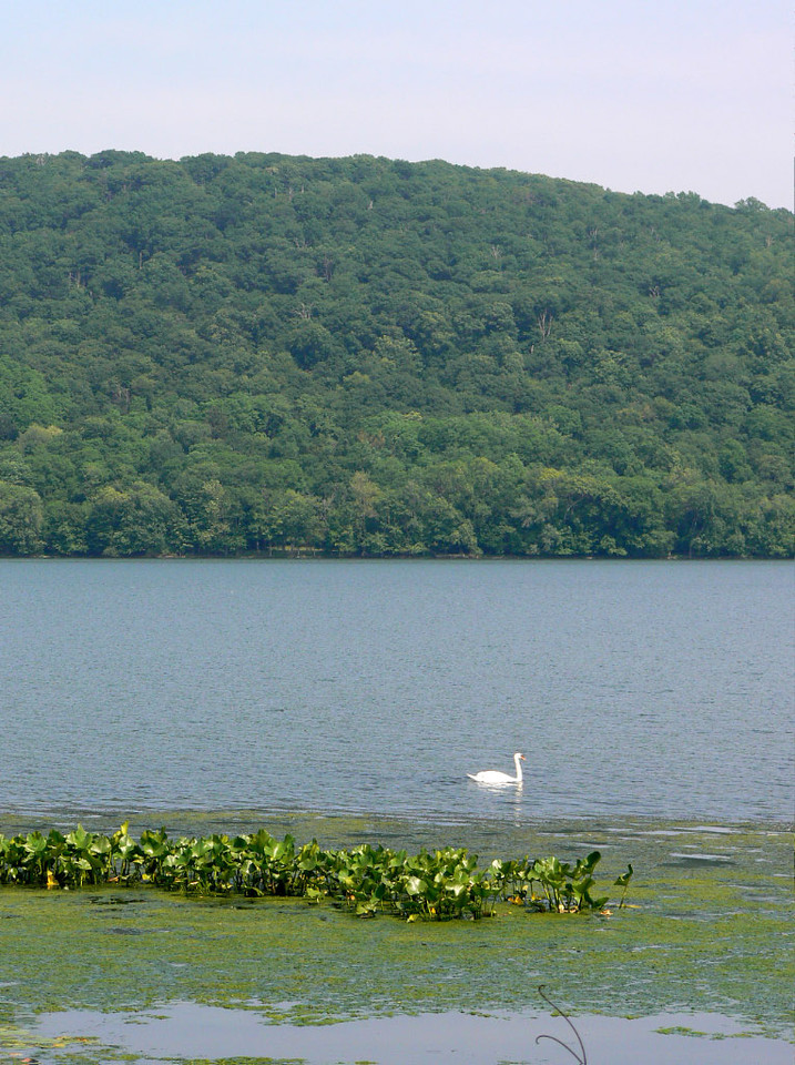 Rockland Lake state park, swan