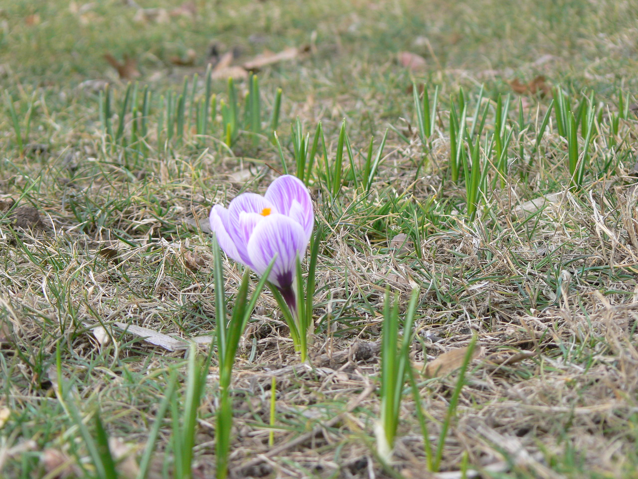 first crocus of spring and promise of more