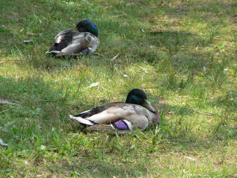 mallard duck, males