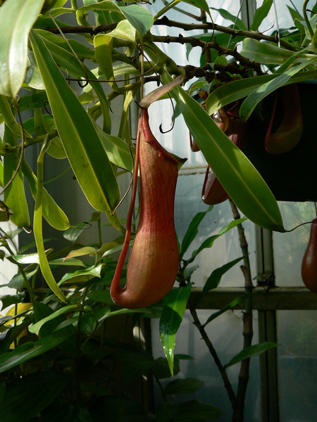 Pitcher plant - at Barnard College's tropical greenhouse