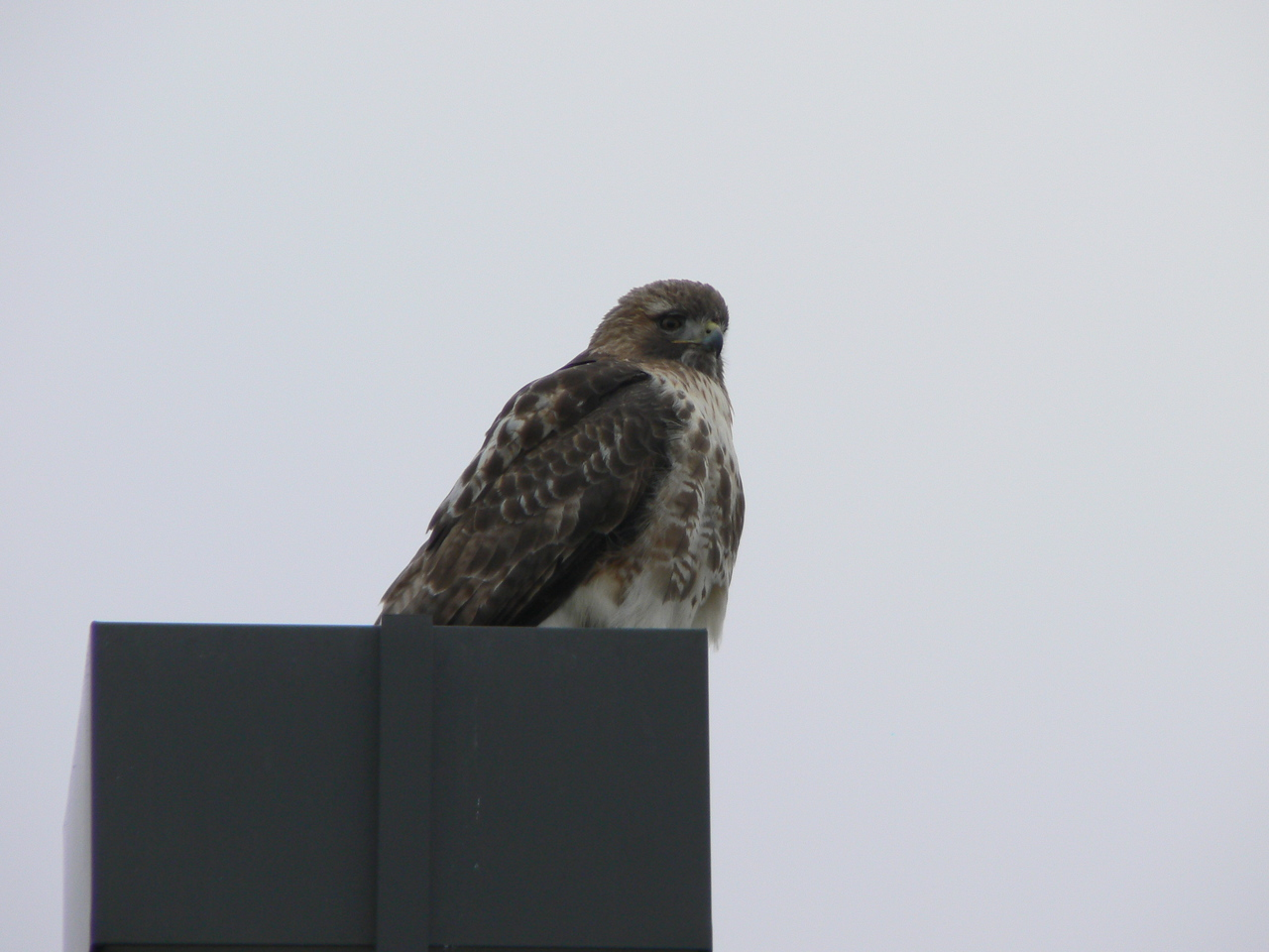 Pattern metering, +0.66 EV  - red tailed hawk