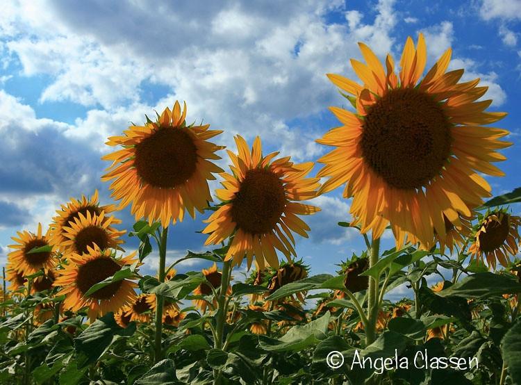 2010 Kansas Garden Show Photo Contest<br /> 1st Place - Summer Blooms