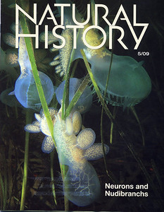 Some of Whidbey Island  Lion nudibranchs (Melibe leonina) made it to the cover of Natural History Magazine, May 2009 issue.