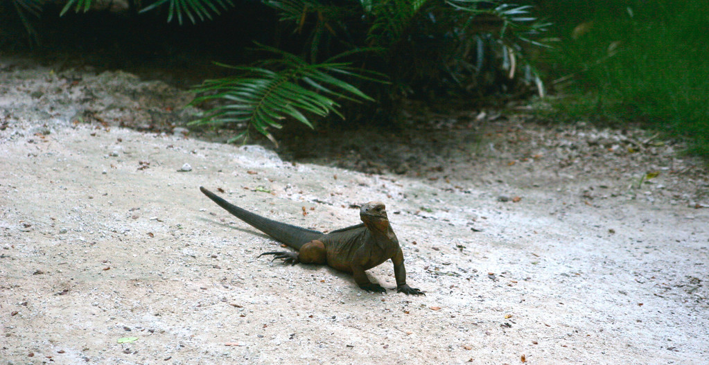 Crazy ass iguana!