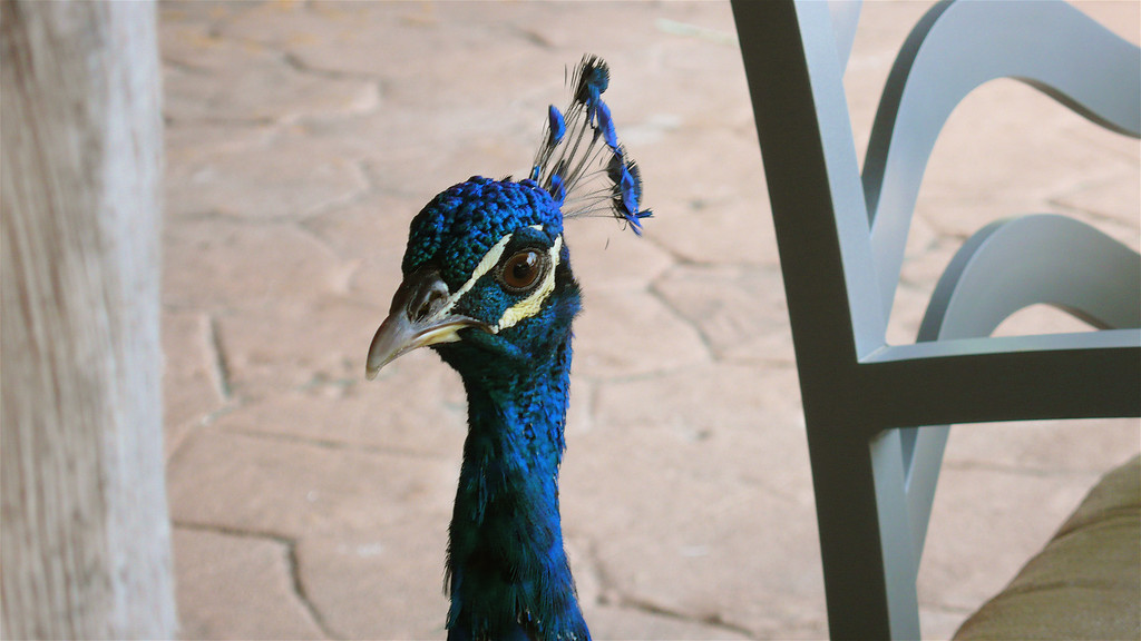 Peacock, eh.