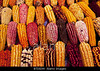 m332, Fig 7.5 ears of corn of different colors<br /> Choice 2 of 8<br /> <br /> BTD8JW Choclo, or Peruvian large kernel corn, as seen at Lima's annual gastronomic festival, Mistura.. Image shot 2010. Exact date unknown.